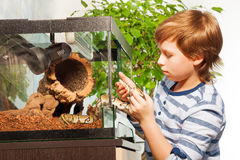 Brave boy gets Royal python out of terrarium Stock Photo