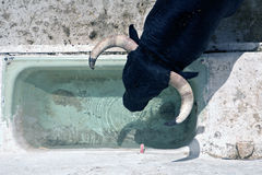 Brave bull drinking waters down in drinking trough in a stable Stock Photo