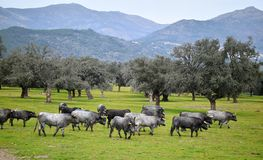 Brave bull in the field with big horns. Brave and strong bull in the field in spain with big horns stock photo