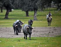 Brave bull in the field with big horns. Brave and strong bull in the field in spain with big horns royalty free stock photos