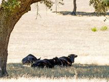 Brave bulls on the pasture in Spain at summertime. Brave bulls on the pasture in Spain Royalty Free Stock Photography