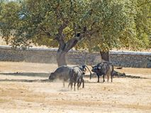 Brave bulls on the pasture in Spain at summertime. Brave bulls on the pasture in Spain Stock Image