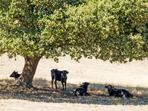 Brave bulls on the pasture in Spain at summertime. Brave bulls on the pasture in Spain Royalty Free Stock Image