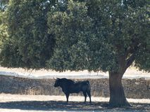 Brave bulls on the pasture in Spain at summertime. Brave bulls on the pasture in Spain Stock Photos