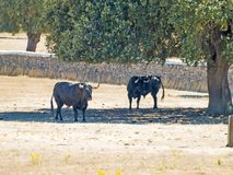 Brave bulls on the pasture in Spain at summertime. Brave bulls on the pasture in Spain Royalty Free Stock Images