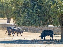 Brave bulls on the pasture in Spain at summertime. Brave bulls on the pasture in Spain Stock Photography