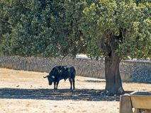 Brave bulls on the pasture in Spain at summertime. Brave bulls on the pasture in Spain Stock Photo