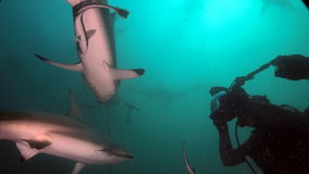 Brave diver near sharks Royalty Free Stock Photos