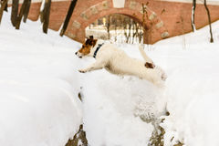 Brave dog jumping over the precipice with slippery snowy edges Stock Image