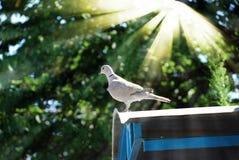 Brave Dove In Sunbeams Royalty Free Stock Photo
