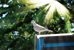 Brave dove in sunbeams Royalty Free Stock Photo