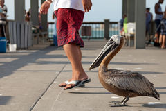 Brave Florida Pelican Royalty Free Stock Image