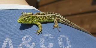 Brave green lizard on man shoulder stock photography
