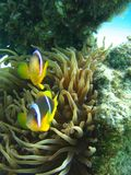 Brave guardians. Guardians of the anemone are the clown fish Stock Photo