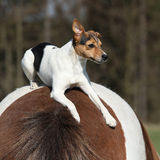 Brave Parson Russell terrier lying on horse back Royalty Free Stock Photos