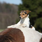 Brave Parson Russell terrier lying on horse back Royalty Free Stock Photography