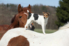 Brave Parson Russell terrier standing on horse back Stock Photography