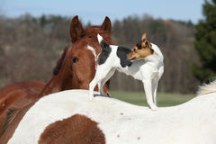 Brave Parson Russell terrier standing on horse back Royalty Free Stock Images