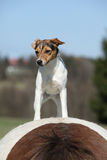 Brave Parson Russell terrier standing on horse back Royalty Free Stock Photography