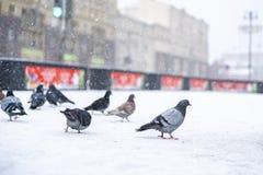 Brave pigeons survive in city in winter season b stock photo