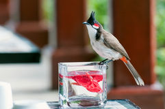 Brave red-whiskered bulbul Royalty Free Stock Photos