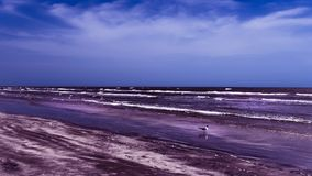 Low Tide Stroll Along The Beach. A brave sea gull wades in the surf at the beach royalty free stock photography
