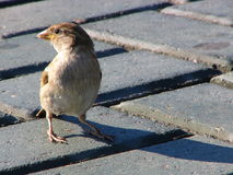 Brave sparrow. Sparrow on sidewalk stock photos