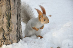 Brave squirrel Royalty Free Stock Image