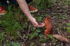 Brave squirrel. squirrel chooses the biggest nut from the human palm. sociable friendly animals in the city park stock photography