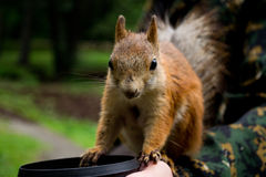 Brave squirrel. On a man's hand Stock Image
