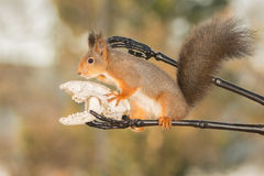 Brave squirrel Royalty Free Stock Photography