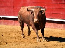 Strong bull in the bullring with big horns royalty free stock image