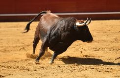 Fierce bull in the bullring with big horns. Brave and strong bull in the bullring in spain with big horns royalty free stock photo