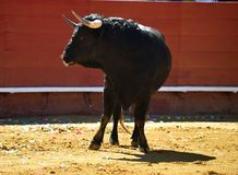 Fierce bull in the bullring with big horns. Brave and strong bull in the bullring in spain with big horns stock image