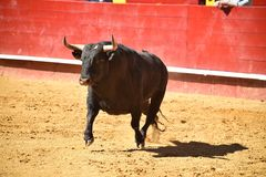 Fierce bull in the bullring with big horns. Brave and strong bull in the bullring in spain with big horns royalty free stock photography