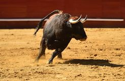 Fierce bull in the bullring with big horns. Brave and strong bull in the bullring in spain with big horns royalty free stock photos