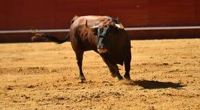 Fierce bull in the bullring with big horns. Brave and strong bull in the bullring in spain with big horns stock photos