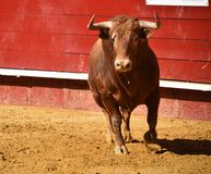 Strong bull in the bullring with big horns royalty free stock photos