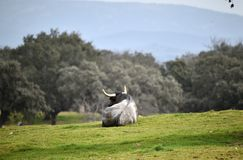 Brave bull in the field with big horns. Brave and strong bull in the field in spain with big horns royalty free stock photo