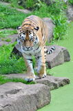 Brave tiger Royalty Free Stock Images