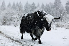 Brave yak Stock Image