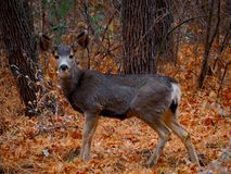 A Brave Mule Deer in a Winter Forest. A brave young mule deer staring at the camera in a winter forest in Sedona, Arizona stock photography