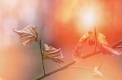 Brawn φθινοπώρου πτώσης ξηρά θαμπάδα υποβάθρου φύλλων η κινηματογράφηση σε πρώτο πλάνο ανασκόπησης φθινοπώρου χρωματίζει το φύλλο Στοκ Εικόνες