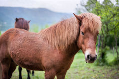 Brawn horse Royalty Free Stock Images