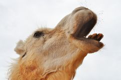 Braying Camel Royalty Free Stock Photos