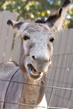 Braying donkey Stock Photo