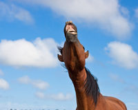 Braying horse against a blue sky Stock Photo