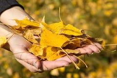 Brazado de hojas amarillas Fotografía de archivo