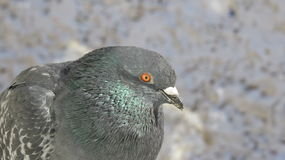 Brazen dove flew to the windowsill. Brazen dove which can be touched by hand Royalty Free Stock Photos