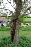 Braziers Park - hollow tree Stock Photography
